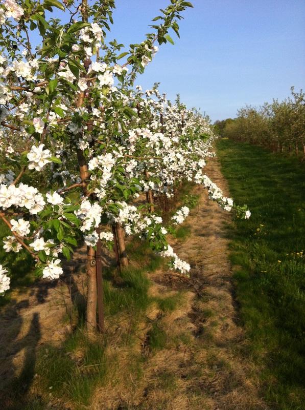 blossoms_orig.jpg
